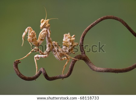 A devil flower mantis nymph is sitting on a vine. - stock photo