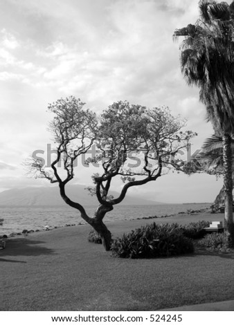 A different looking tree from the coast of Maui. - stock photo