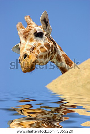A digital composite of a curious giraffe peeking from behind a rock reflected in rippling water. - stock photo