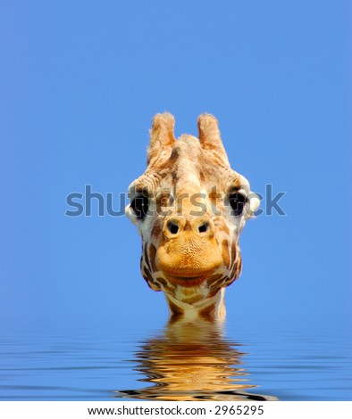 A digital composite of giraffe looking straight at the viewer over gently rippling water. - stock photo