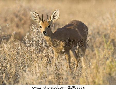 A dik-dik - stock photo