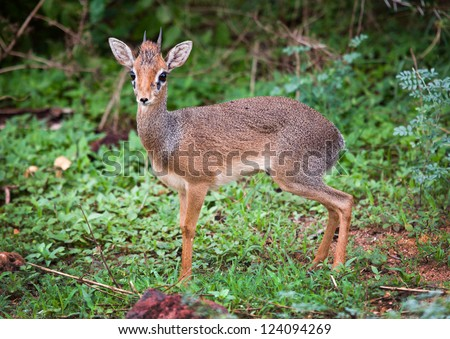 A dik-dik, a small antelope in Africa. Lake Manyara national park, Tanzania