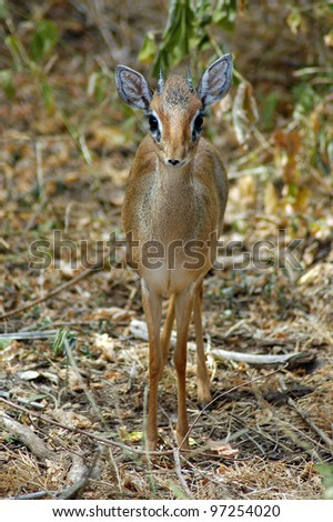 A dik dik standing front on and looking forward - stock photo