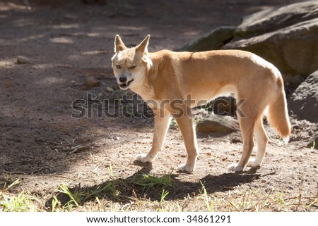A dingo snarling at the camera.  Australian wild dog. - stock photo