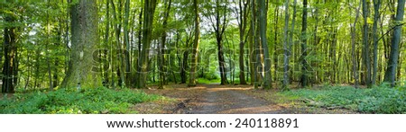 A dirt road in the mixed forest (beech, oak and ash) in a sunny evening, by Beckingen,  Saarland / Germany, panoramic XXL, - stock photo