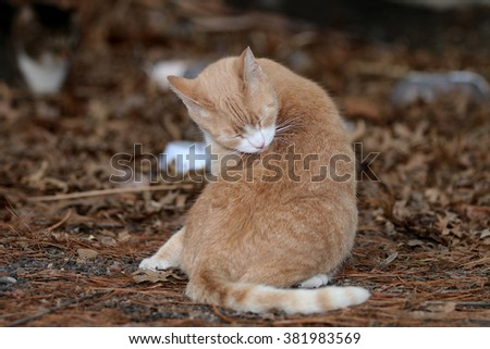 A Dirty Feral Cat Cleaning Itself Outside in the Summer Sun - stock photo