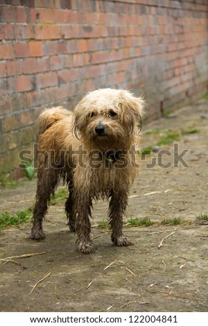 A dirty wet dog standing outside