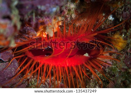 A DIsco clam (Ctenoides ales) has a mantle that is iridescent.  The animal furls and unfurls the reflective parts of its mantle causing what looks like bioluminescence. - stock photo