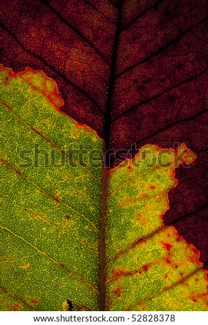 A Diseased Leaf with light coming through from underneath it highlighting its structure and veins.