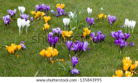 A display of purple, white and orange Crocuses, growing on the lawn, in Spring sunshine. - stock photo