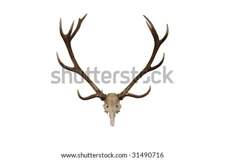 A Display Set of Deer Antlers. - stock photo