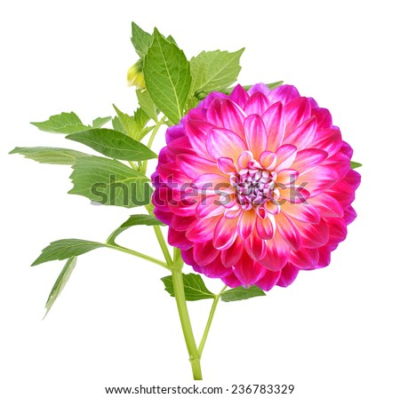A Diva dahlia flower (America dahlia) - stock photo