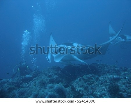 A diver meets a Manta Ray (Manta birostris) over the coral reef - stock photo