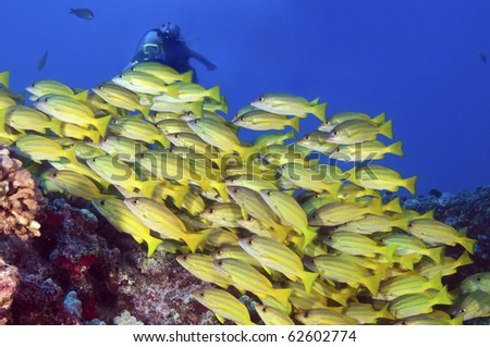 A diver photographs a school of blue striped snappers over a reef - stock photo