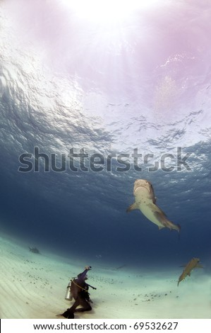 A diver photographs a tiger shark from a safe distance. - stock photo