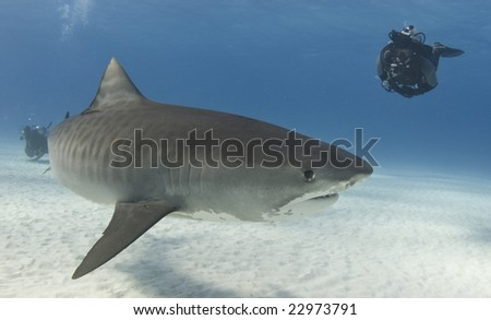 A diver watches a Tiger Shark (Galeocerdo curvier) swim by in the open water - stock photo
