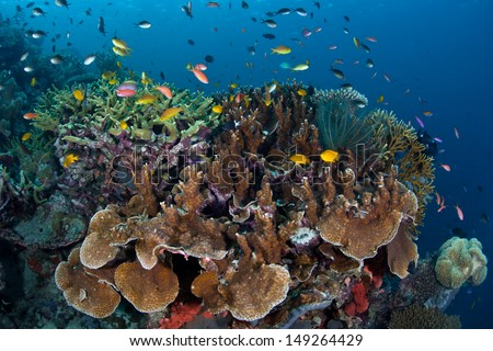 A diverse array of fish swim above reef-building corals grow on a reef slope in the Solomon Islands.  This area is found within the Coral Triangle and is high biological diversity. - stock photo
