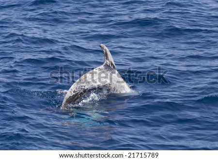 A diving Risso's or Grey Dolphin, Grampus griseus - stock photo