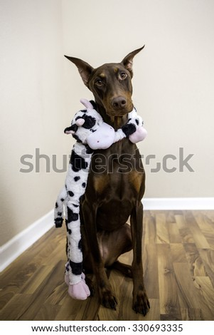 A doberman and a cow toy so cute
