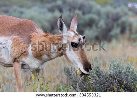 A doe antelope on the Wyoming prairie. - stock photo