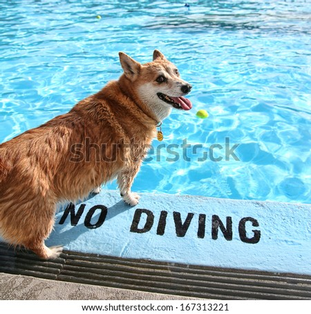 a dog at a local public pool - stock photo