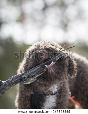 A dog chewing a tree branch outdoor. - stock photo
