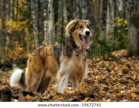A dog(collie) in the forest at fall - stock photo