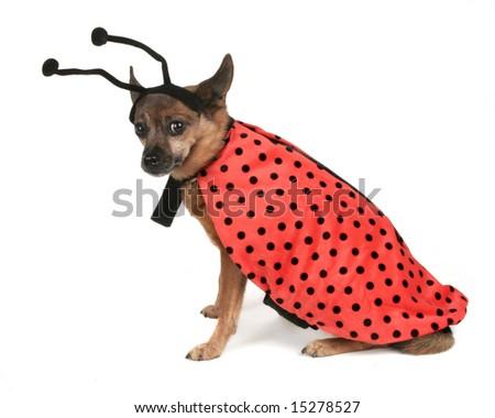 a dog dressed up as a ladybug - stock photo