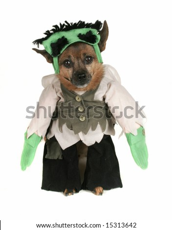 a dog dressed up as Frankenstein - stock photo