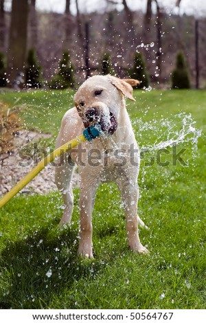 A dog drinking water straight from a garden hose - stock photo