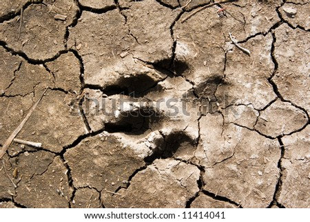 a dog footprint in dried mud, going west - stock photo