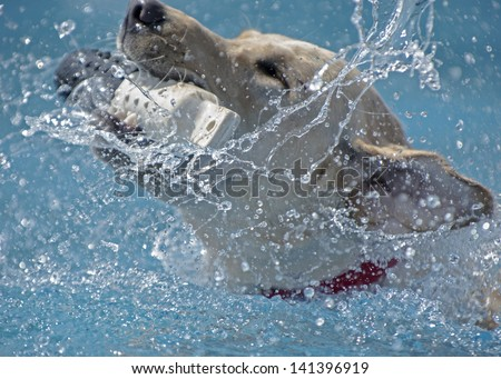 A dog grabs a toy from a pool, splashing water creates a beautiful scene of bliss - stock photo