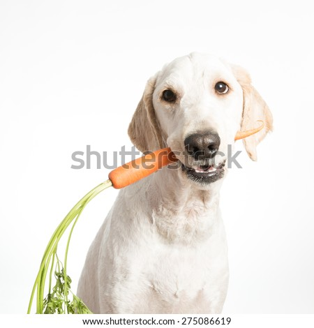 A dog holding a carrot in it's mouth. - stock photo