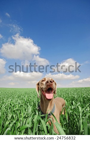 a dog in a green wheat field - stock photo