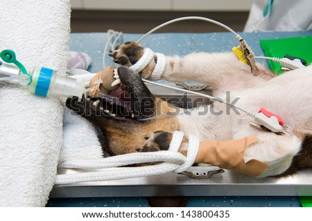 A dog in lying unconscious in a veterinarian clinic while a surgeon is sterilizing her - stock photo