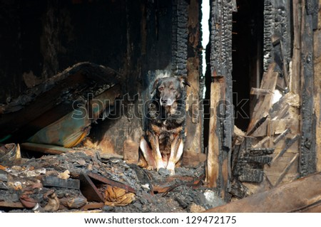 A dog in the house of the owners, burned by the fire house. - stock photo