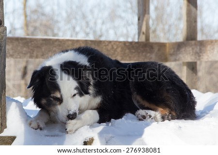 A dog in winter laying down to chew the balls of ice and snow from his paw on a frigid winter day in Ontario, Canada - stock photo