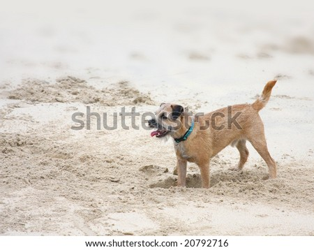 A dog is digging in the sand