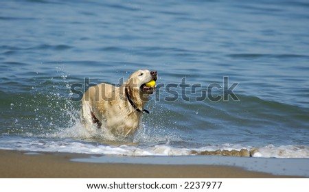 A dog is running out of San Francisco Bay on a nice fall morning with a yellow ball in its' mouth.