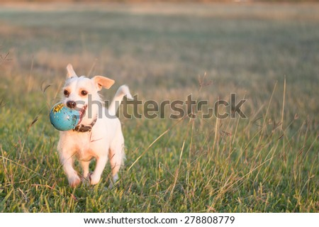 A dog is running through a field with a ball in its mouth. - stock photo