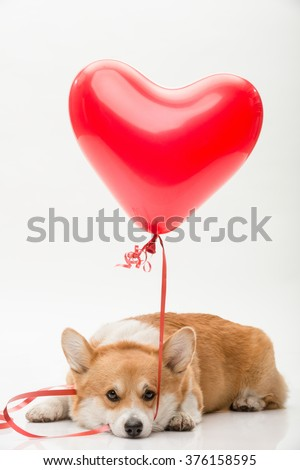 A dog laying on the floor holding a red balloon in his mouth looking straight - stock photo