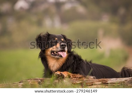 A dog lies on a tree trunk and watch carefully to the side - stock photo