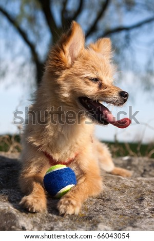 A dog lying down with its tongue hanging out and a ball between its paws. - stock photo