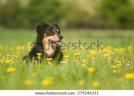 A dog lying in a meadow and looks aside - stock photo