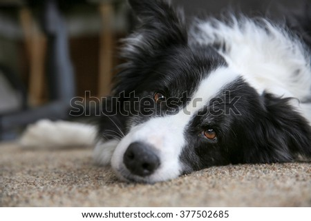 A dog lying on the floor looking at the camera - stock photo