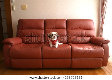 A dog on the Sofa,she is relaxing./Pet on my sofa. - stock photo