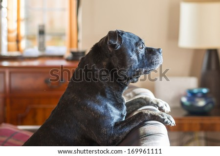 A dog resting on the back of a sofa looking out of a window waiting for his owner - stock photo