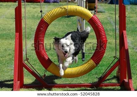 A dog running an agility course - stock photo