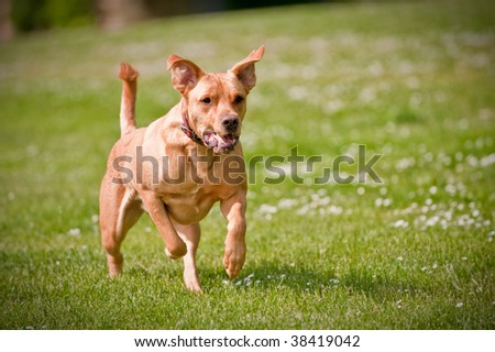 A dog running fast at an outside park - stock photo