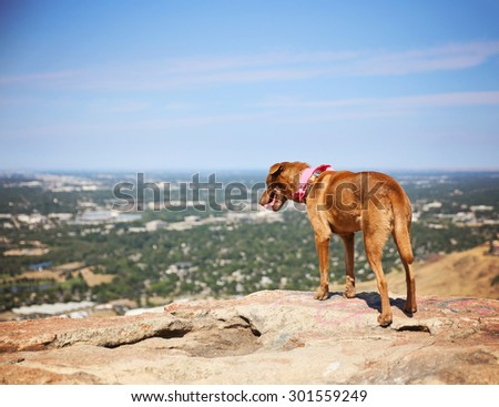 a dog sitting on a mountain top looking over a skyline panting on a hot summer day - stock photo